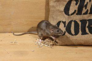Que faire si des rats ou d'autres ravageurs vivent dans votre maison
